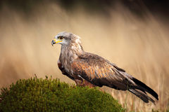 Brown bird of prey black kite, Milvus migrans, on moss hillock in march. Germany stock image