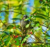 Brown Bird Red Berries Tree Beihai Park Beijing China royalty free stock photo