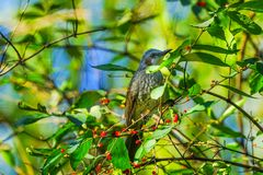 Brown Bird Red Berries Tree Beihai Park Beijing China royalty free stock photography