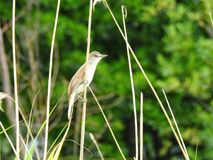 Brown bird on reed plant, Lithuania Royalty Free Stock Photography