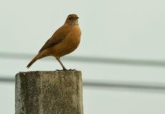 Brown Bird standing on a concrete pole. Looking to the camera Royalty Free Stock Image