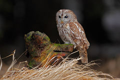 Brown bird Tawny owl sitting on tree stump with grass in the dark forest habitat Royalty Free Stock Images