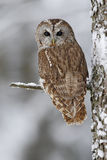 Brown bird Tawny owl sitting on tree trunk with snow during cold winter royalty free stock photo