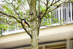 Brown bird on a tree branch Royalty Free Stock Images