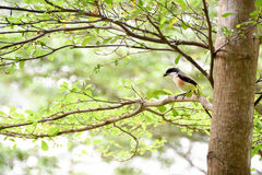 Brown bird on a tree branch. Brown bird sitting on a tree branch alone Royalty Free Stock Images