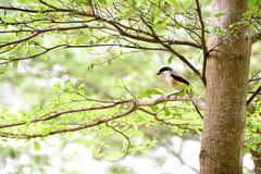 Brown bird on a tree branch. Brown bird sitting on a tree branch alone Royalty Free Stock Photos