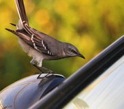 Bird on a mirror. This Brown bird was standing on a car mirror looking very intent to get in. The Bird did not move and looked scared but still did not move royalty free stock photos