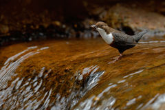 Brown bird with white throat in river, waterfall in the background. Animal in nature habitat. White-throated Dipper, Cinclus cincl Royalty Free Stock Image