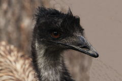 Brown birds Emu in the nature Stock Photo