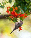 Brown birds sitting on a branch. Bird on a branch, orange flowers Royalty Free Stock Photography