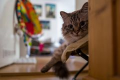A brown birman cat. In room Royalty Free Stock Photo