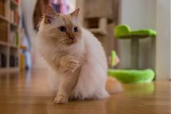 A brown birman cat. In room Royalty Free Stock Image
