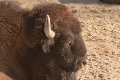 European brown bison lying on the sand sleeping in Spain stock images