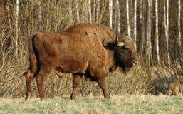 Brown bison Royalty Free Stock Image