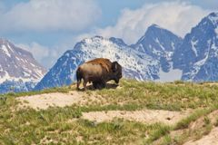 Brown Bison on Top of Brown Mountain With Green Grass Field stock photography