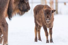 Brown bisons Wisent family near winter forest with snow. Little Small bison near her mother. Herd Of European Aurochs Bison, Bison Royalty Free Stock Photo
