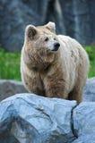 Brown björn Royaltyfri Bild