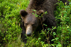 Brown björn Arkivfoto