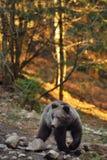 Brown björn Royaltyfria Bilder