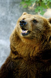 Brown björn Arkivfoton