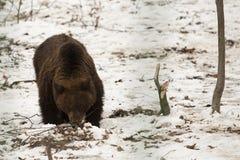 Brown björn i nationalpark Arkivbild