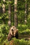 Brown björn i skogen som ser dig Royaltyfria Foton