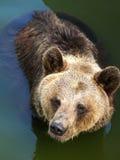 Brown björn i vattnet Arkivfoto