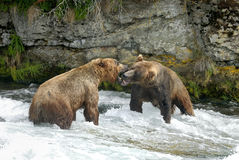 Brown björnar Royaltyfri Foto