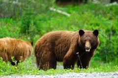 Brown björnar Arkivbilder
