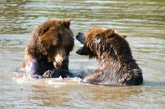 Brown björnar som leker i vatten Arkivfoto