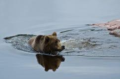 Brown björnsimning Arkivfoton