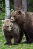 Brown björnar, i att visa affektion Royaltyfri Bild