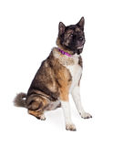 Brown And Black Akita Sitting Over White Background Stock Photo