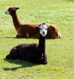 Brown and black Alpaca Stock Photos
