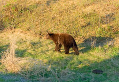 A brown black bear in northern canada Stock Images