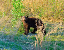 A brown black bear in northern canada Royalty Free Stock Images