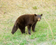 A brown black bear in northern canada Stock Photography