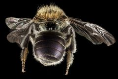 Brown and Black Bee Royalty Free Stock Image