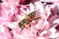 Brown and Black Bee on Pink Petaled Flower Stock Images
