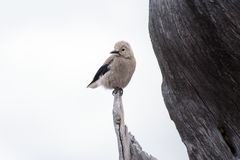 Brown and Black Bird Standing on Brown Wooden Tree during Daytime Stock Photos