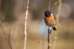 Brown Black Bird on Twig during Daytime Royalty Free Stock Image