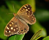 Brown and Black Butterfly Stock Images