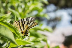 Brown and Black Butterfly in Macro Photography royalty free stock photography