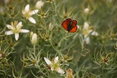 Brown and Black Butterfly Perched on White Petaled Flower Stock Photos