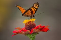 Brown and Black Butterfly Perched on Yellow and Red Petaled Flower Closeup Photography Stock Photo
