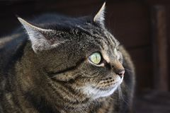 A brown-black cat with a funny or evil look.  Royalty Free Stock Images