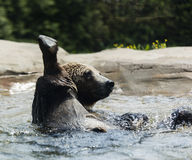 Brown and Black Coated Short Fur Animal on Water Stock Images