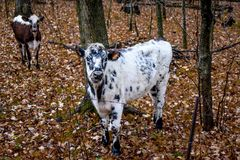 Black and White Cows, Fall, Autumn. Brown and Black cows in a pasture in the fall with brilliant autumn colors on the trees. The cows are peeking through the royalty free stock photos