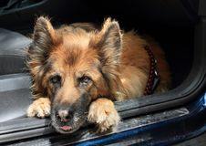 Brown and black dog - German Shepherd in car. Brown and black dog - German Shepherd lying on floor of a car stock image