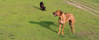 Brown And Black Dog royalty free stock photos